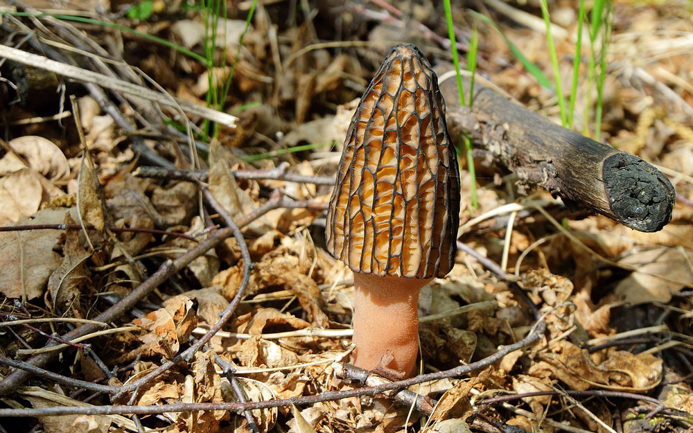 gourmet mushrooms, morel