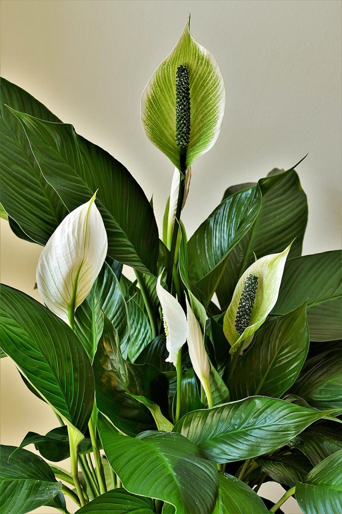 The Ultimate Guide to Peace Lily Care
