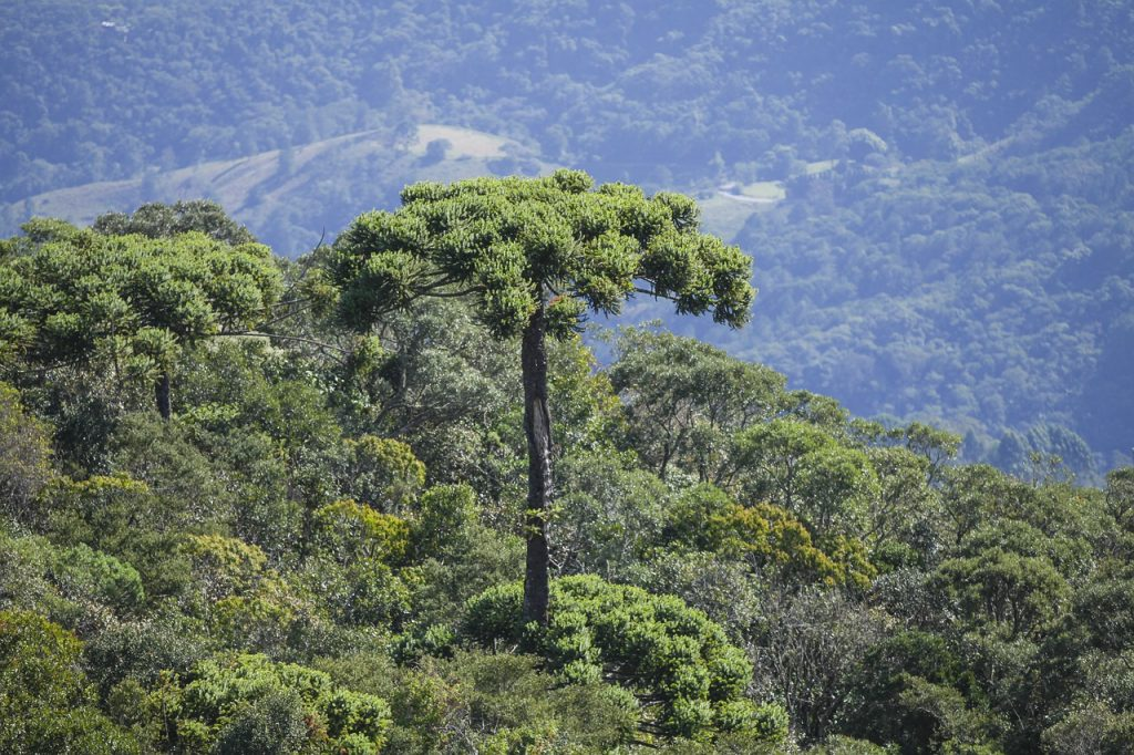 What is a Monkey Puzzle Tree?