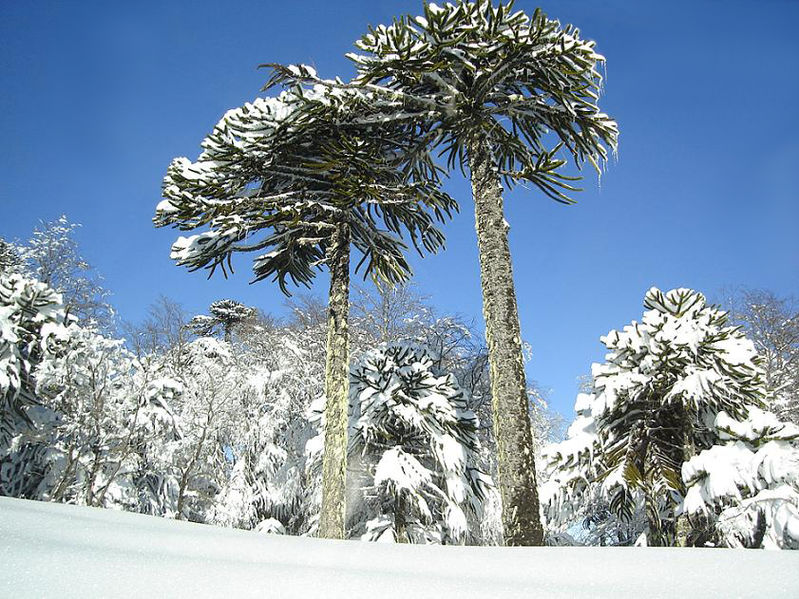 Monkey puzzle trees in a winter storm