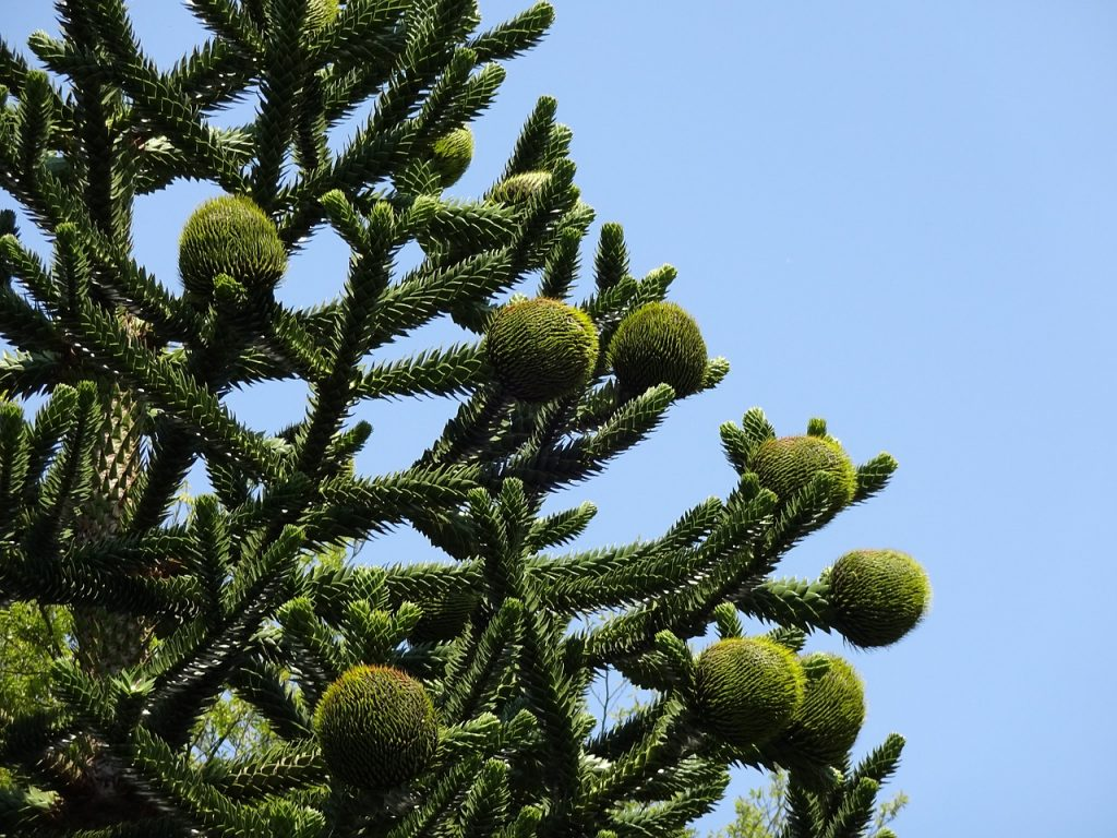 Trunk Monkey Commercial >> What is a Monkey Puzzle Tree? - Plantsnap