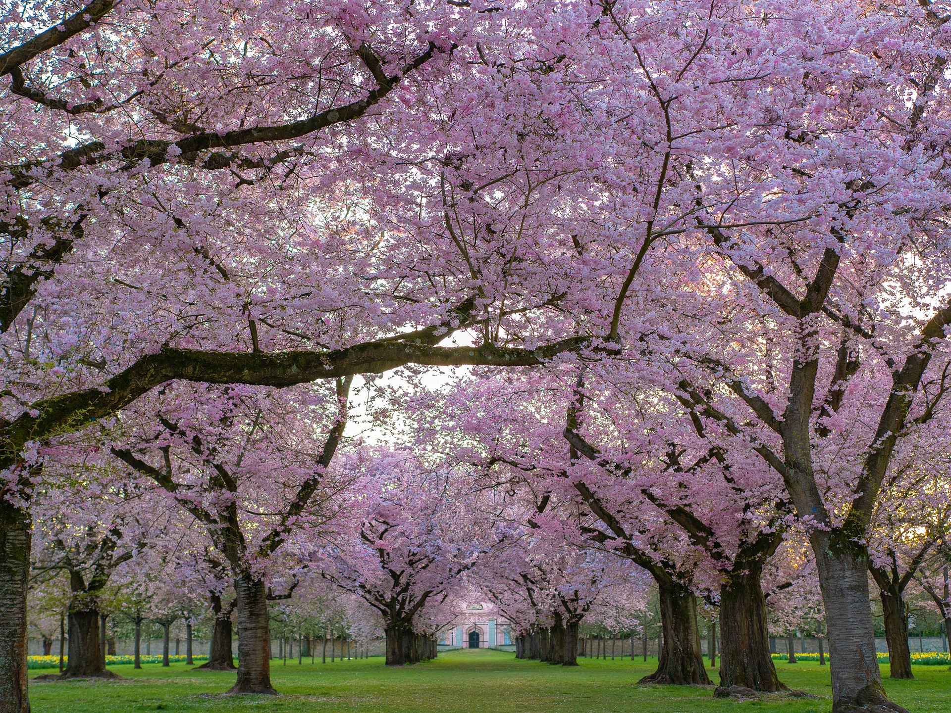 cherry tree flower bloom orchard