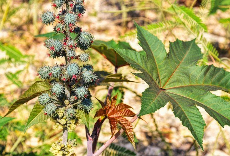 castor bean ricinus communis poisonous plant