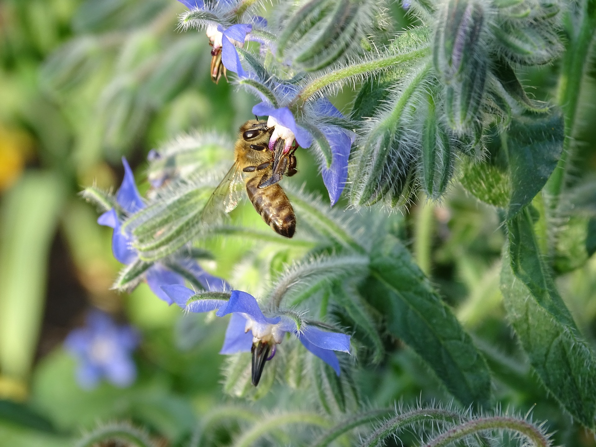 Borage Flower (Starflower) Gardening Tips and Uses