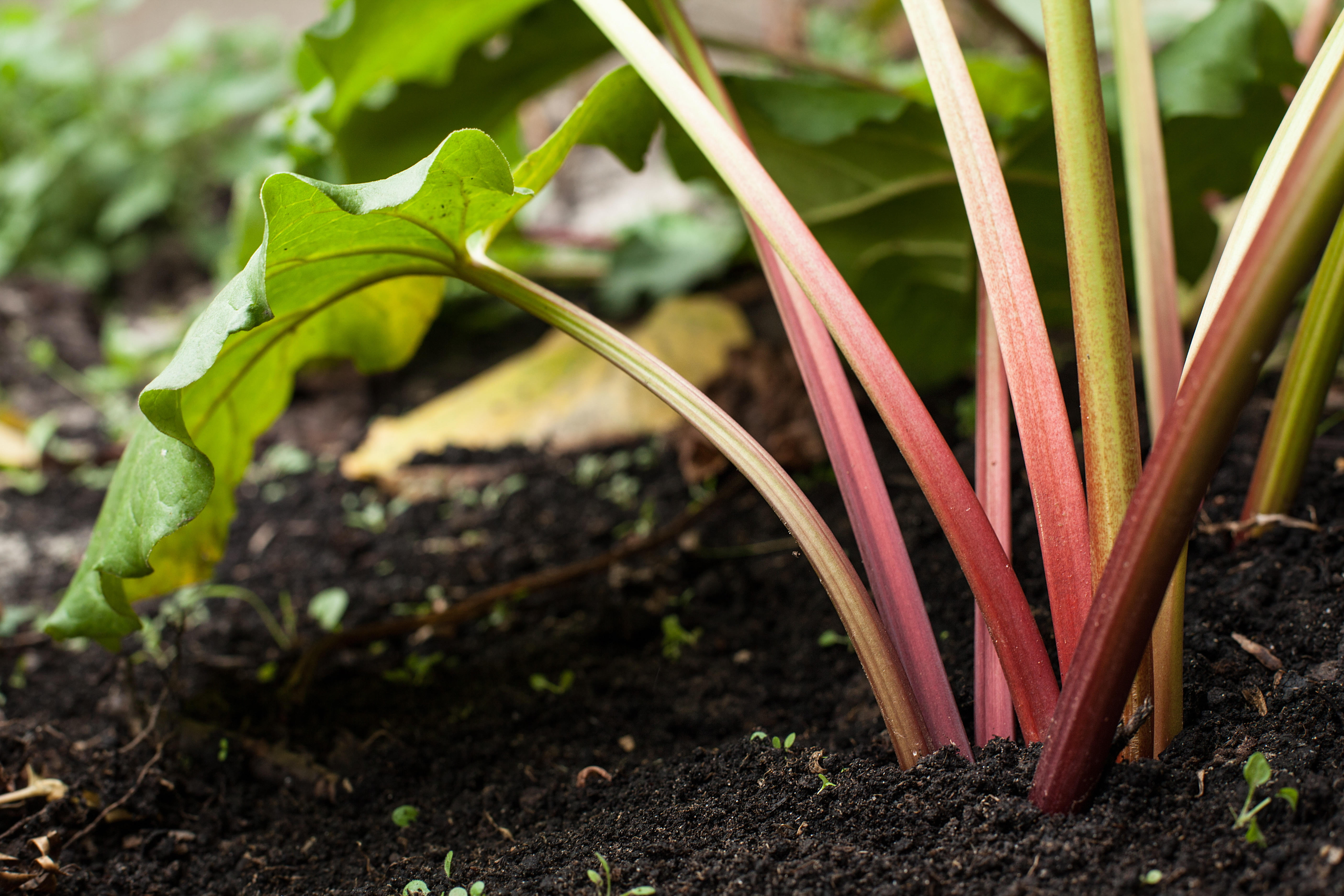 Rhubarb Benefits, Uses, and the Holy Grail of Pie