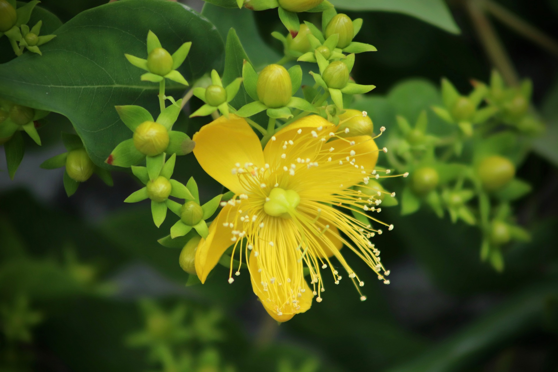 St. John's Wort Uses And Gardening Tips