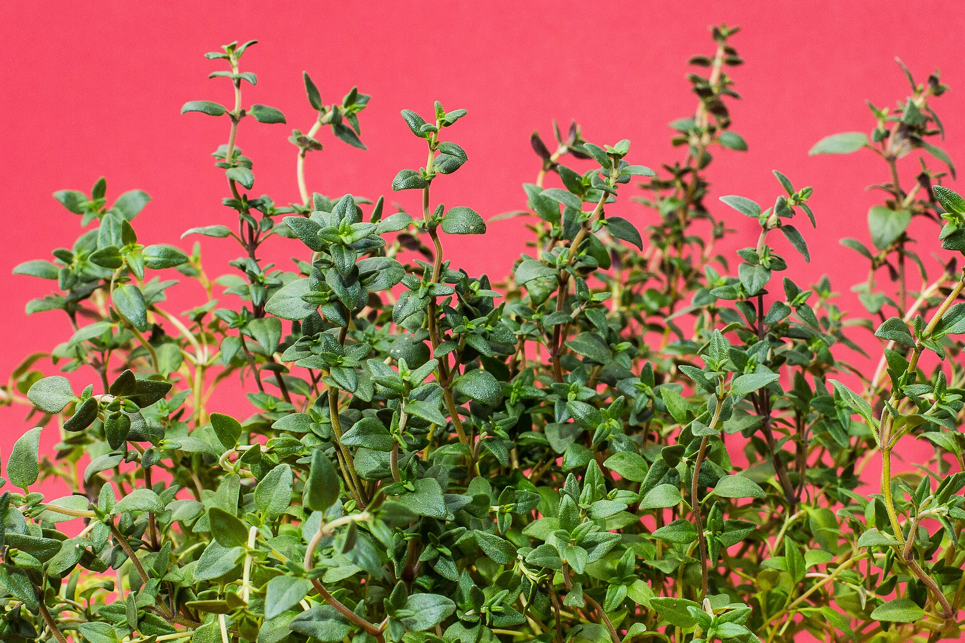 The History of Thyme (Plus Uses of Thyme)