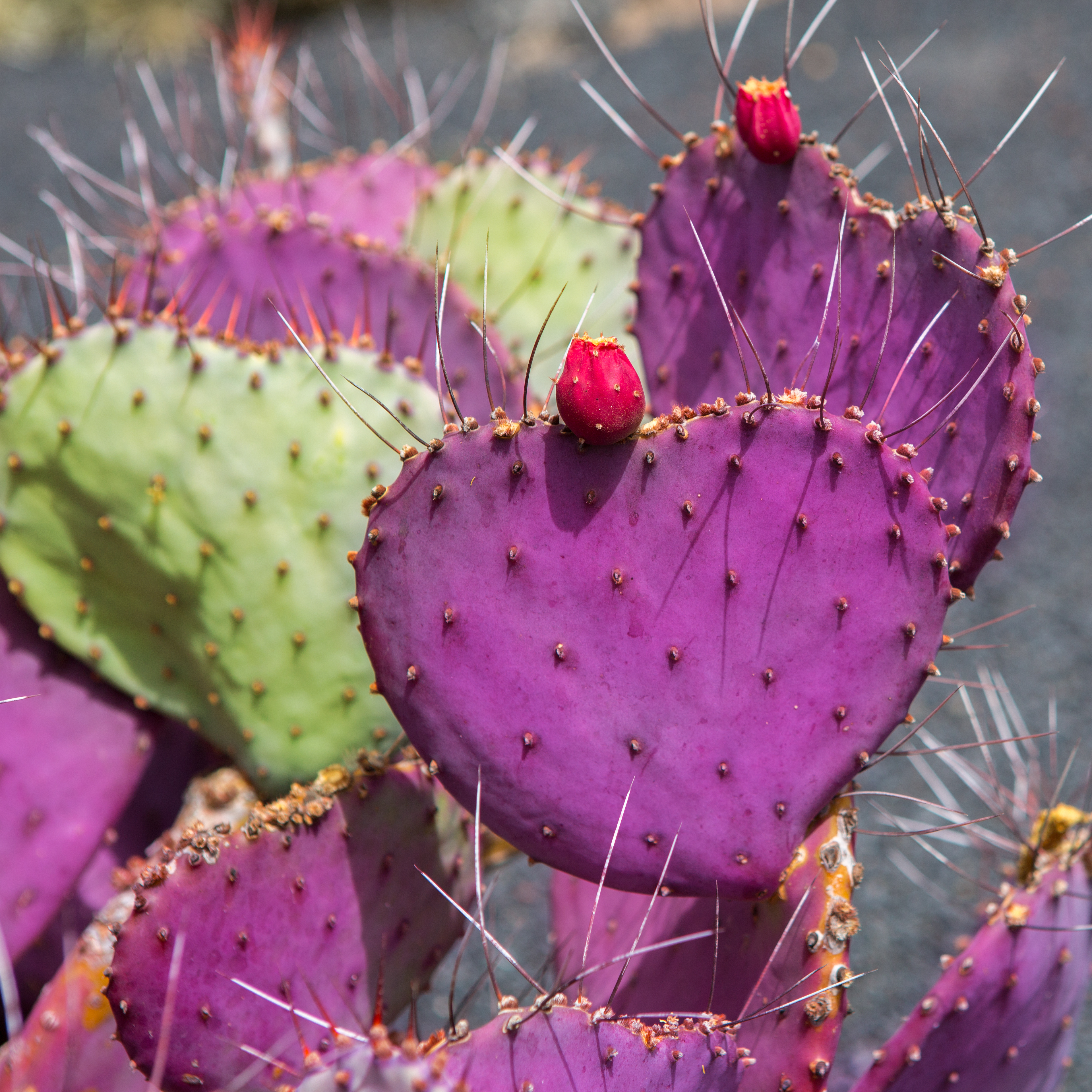 Opuntia macrocentra — long-spined purple prickly pear