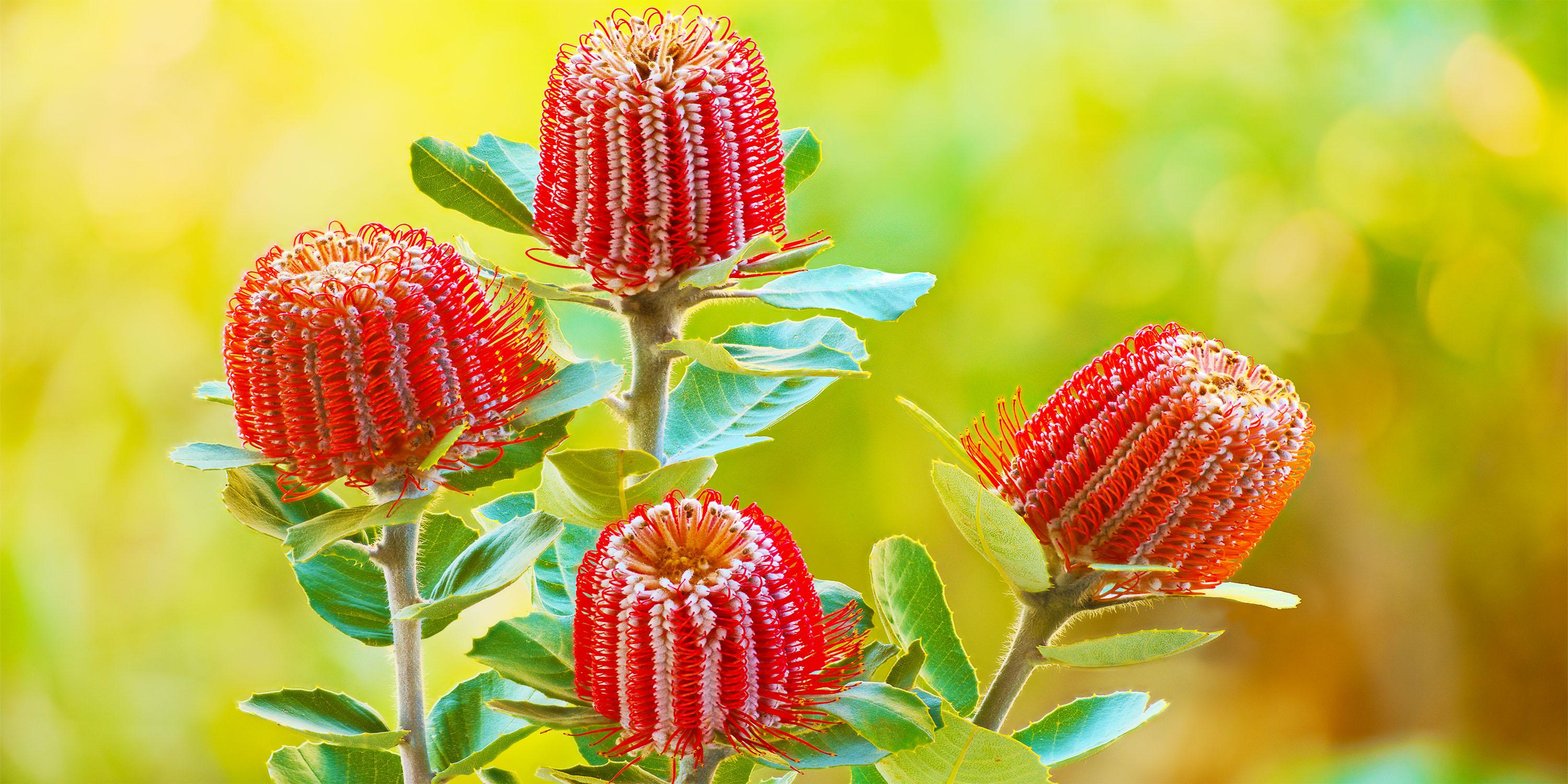 Banksia coccinea -- scarlet banksia