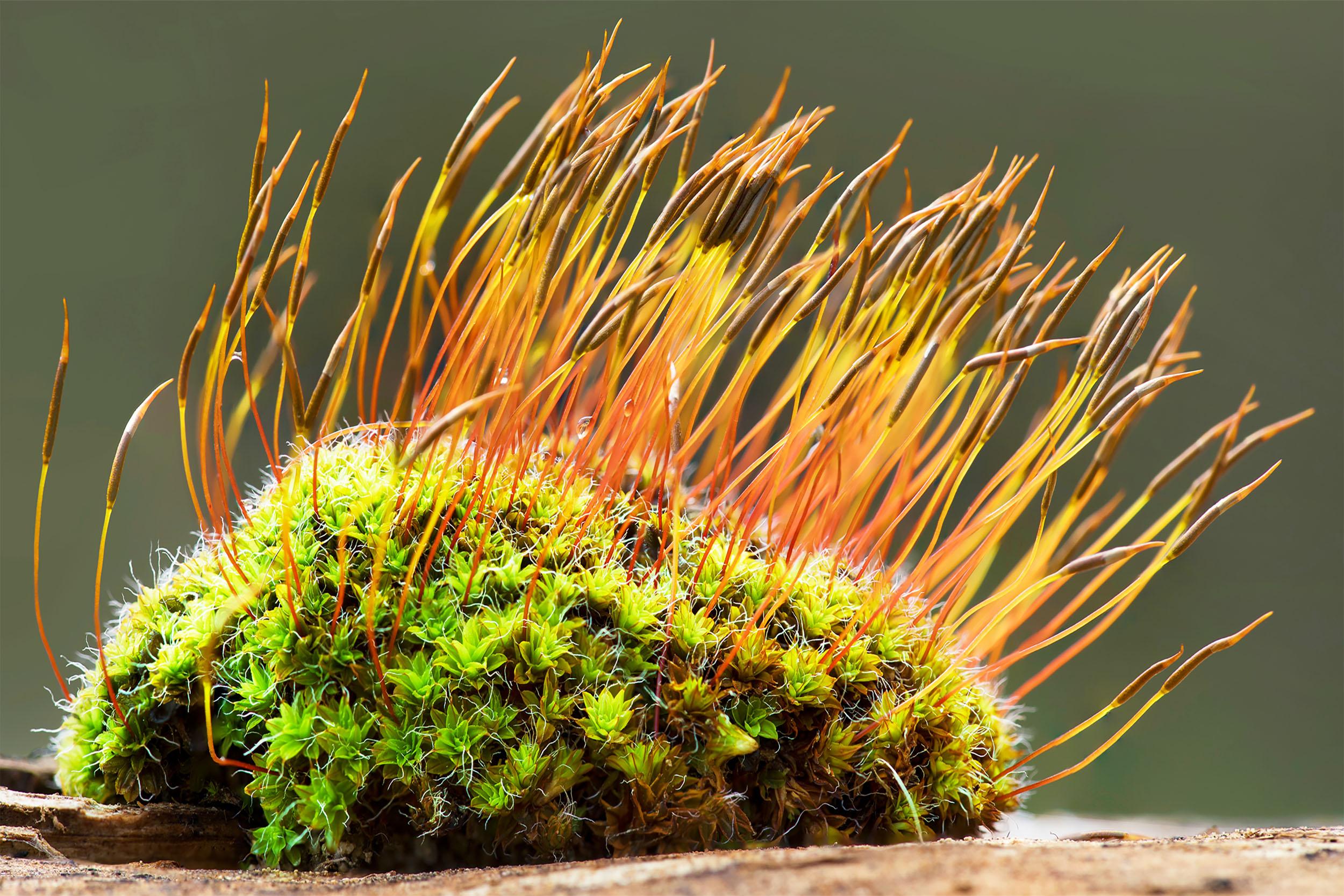 Bryophyte -- mosses