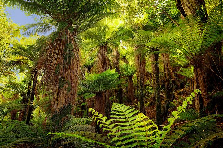 cyatheales pteridophytes plant group plantsnap