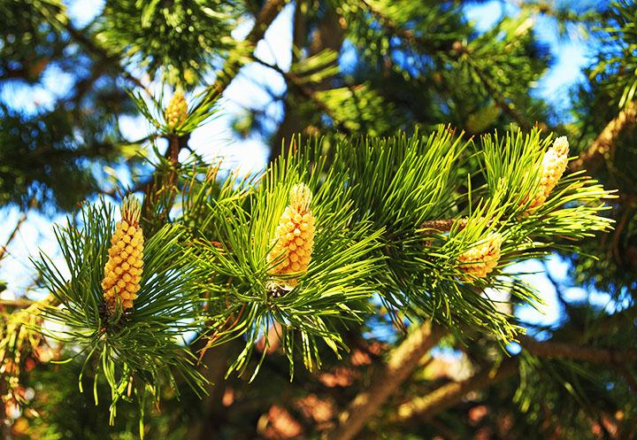 white pine gymnosperms plant group