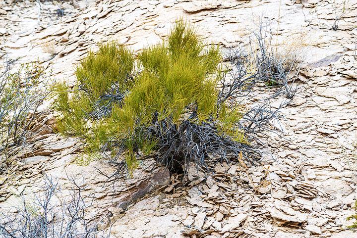 mormon tea gymnosperms plant group