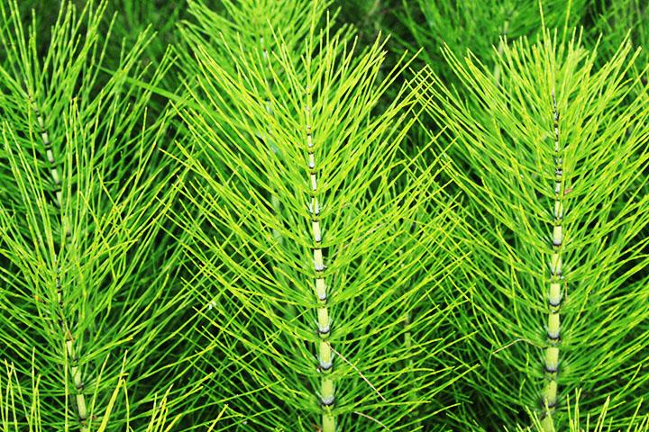 horsetail pteridophytes plant group plantsnap