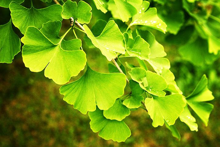 ginkgo gymnosperms plant group