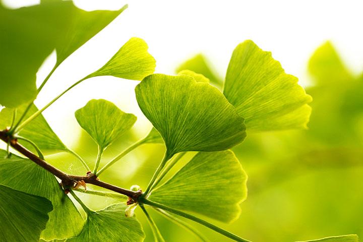 ginkgo leaves gymnosperms plant group