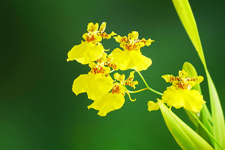 orchid angiosperms plant group