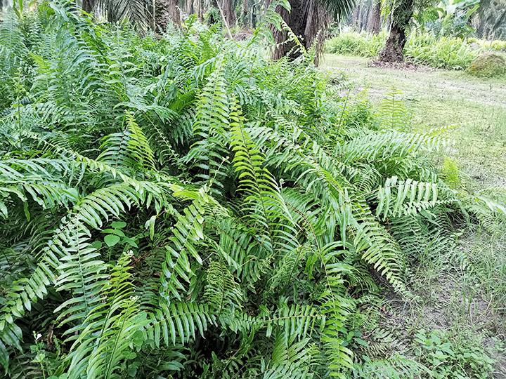 ferns pteridophytes plant group plantsnap