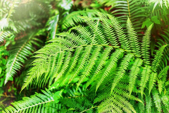 fern pteridophytes plant group plantsnap