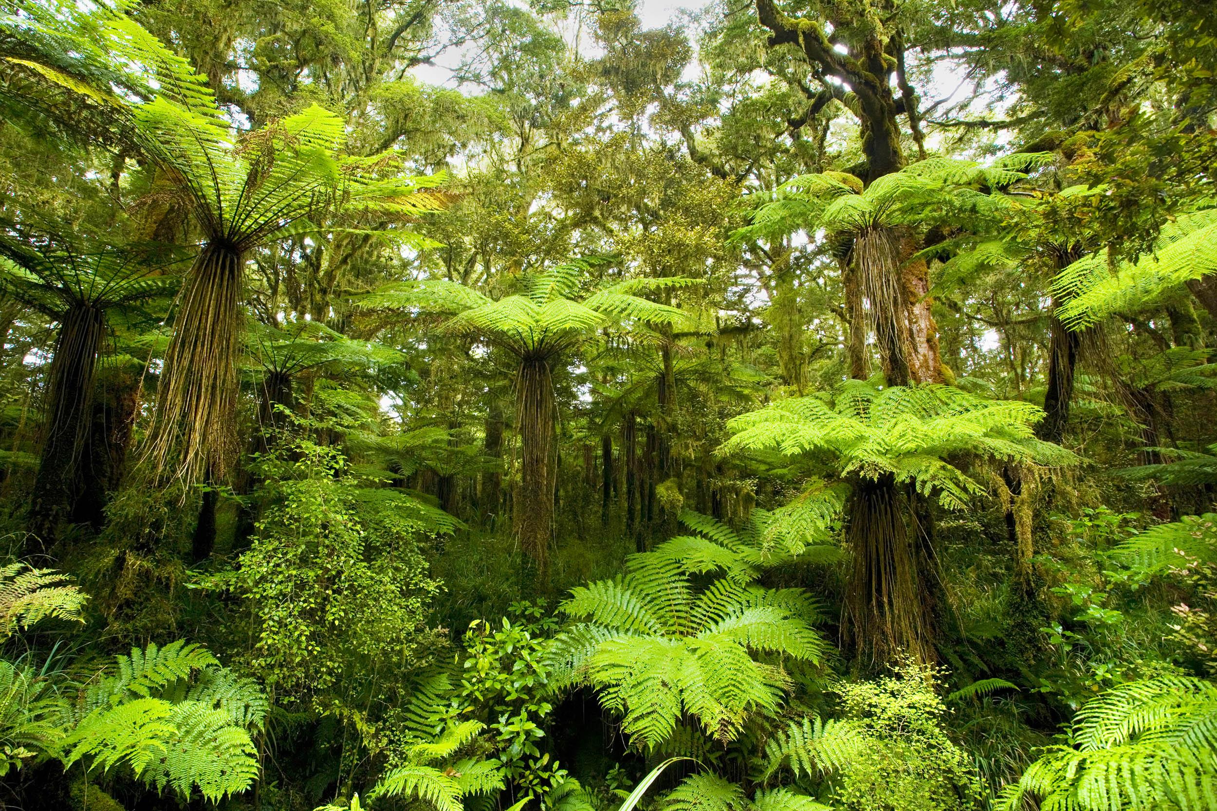 Pteridophytes - ferns
