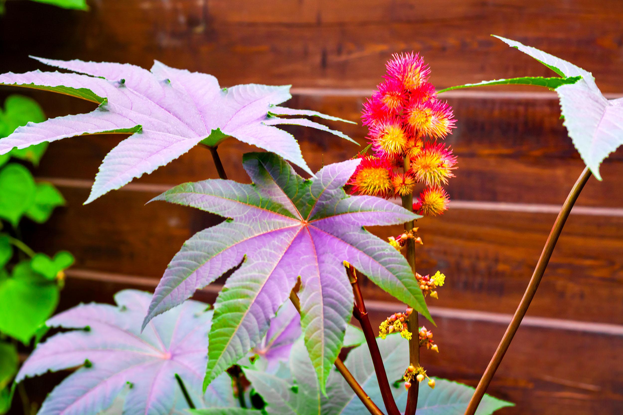 Ricinus communis -- castor bean plant