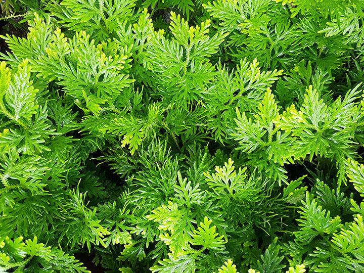 moss pteridophytes plant group plantsnap
