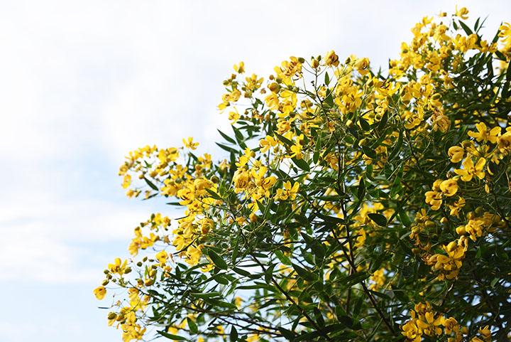 buttercup bush angiosperms plant group