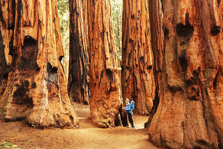 sequoia national park gymnosperms plant group