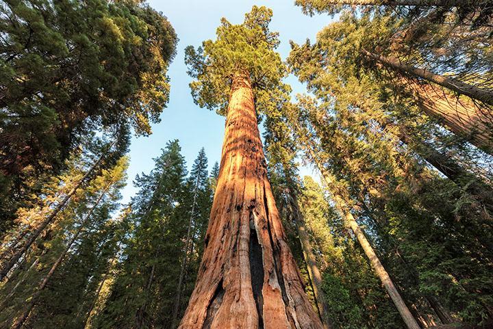 sequoias gymnosperms plant group