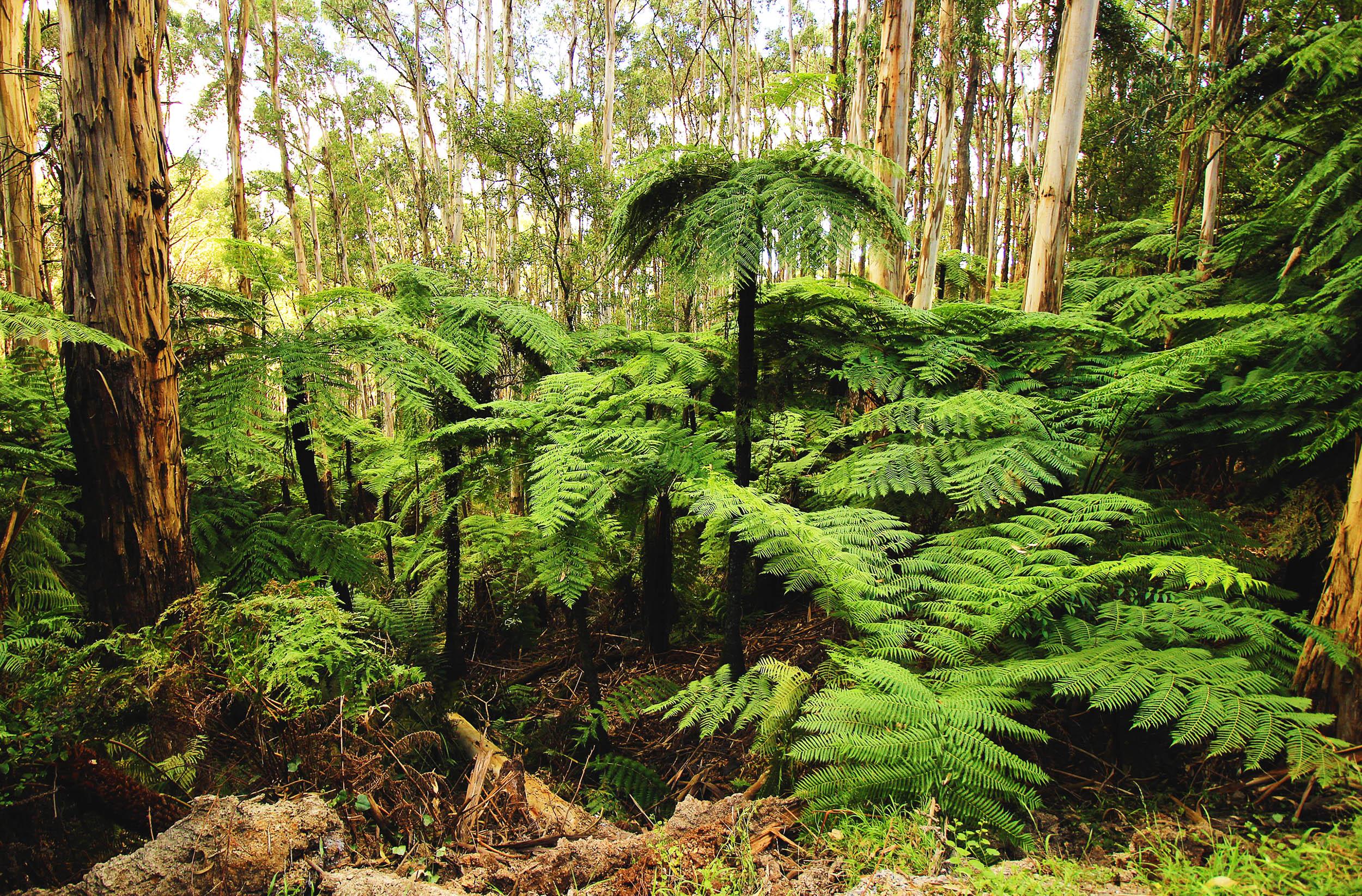 Sphaeropteris cooperi - Australian tree fern