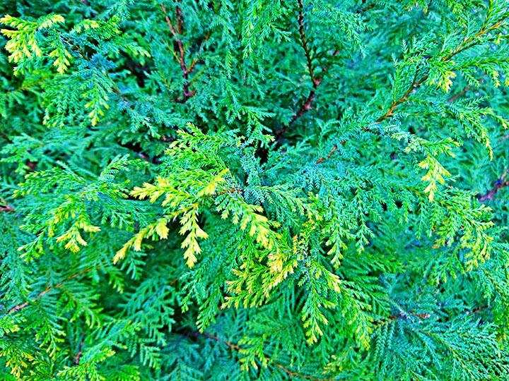 cedar gymnosperms plant group