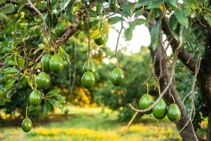 avocado tree angiosperms plant group