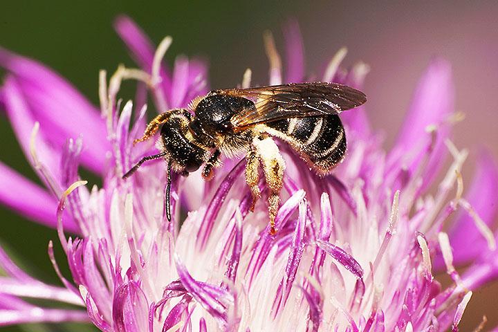bee cornflower angiosperms plant group