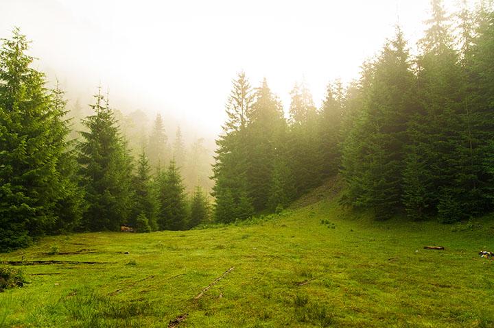 conifer forest gymnosperms plant group