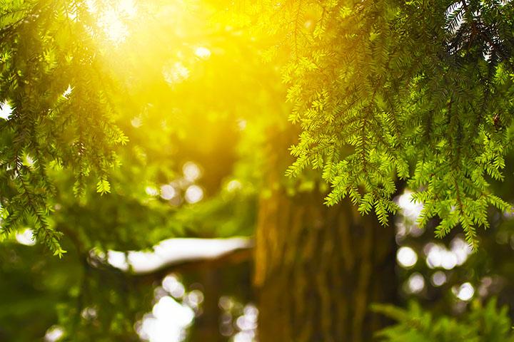 evergreen hemlock tree gymnosperms plant group