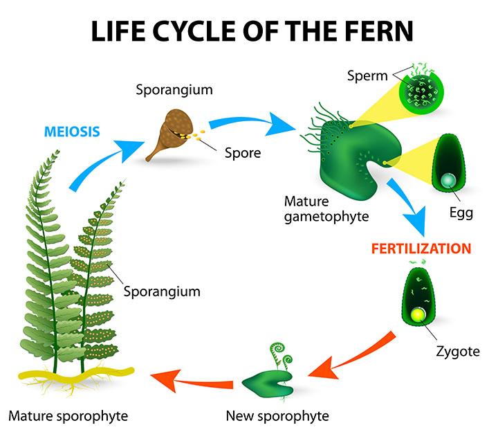 fern life cycle pteridophytes plant group plantsnap