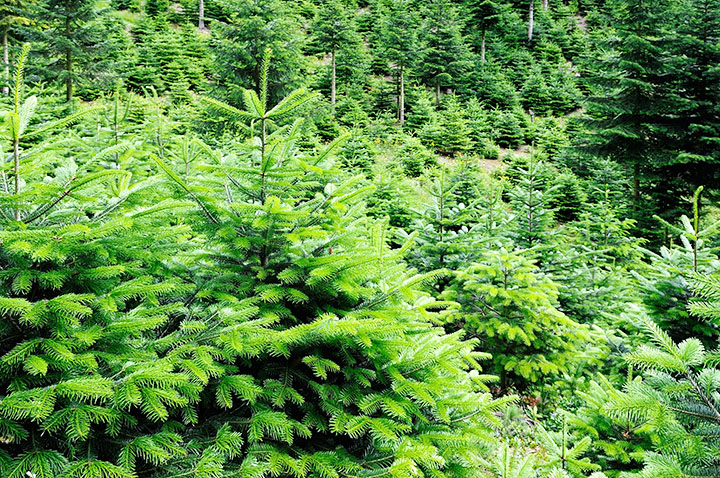 fir trees gymnosperms plant group