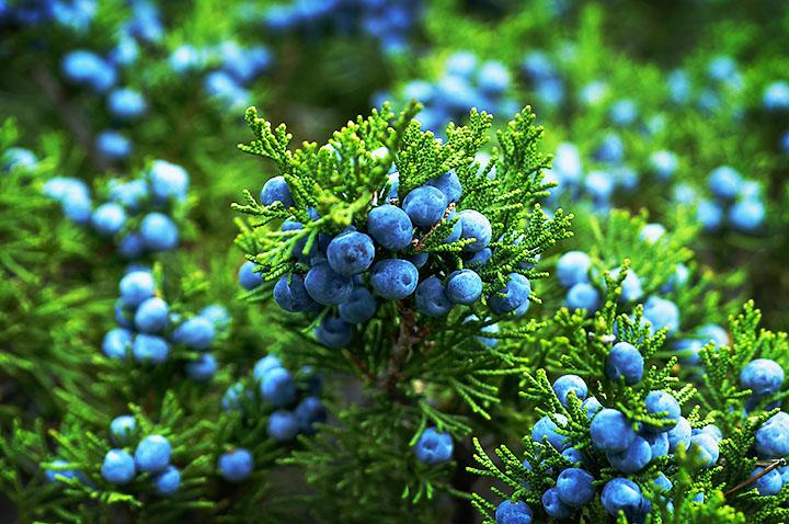 juniper berries gymnosperms plant group
