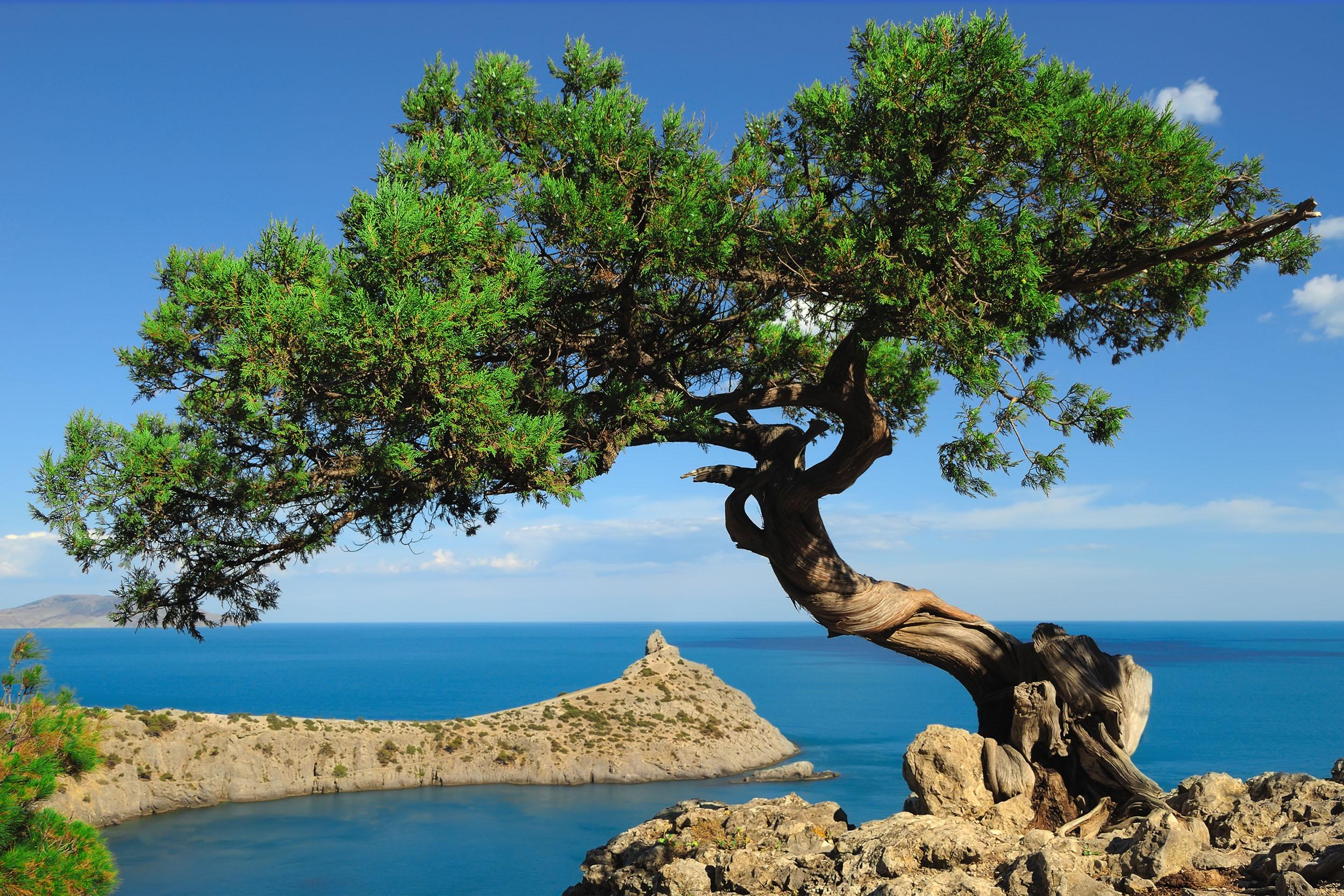 Gymnosperm -- Juniper tree