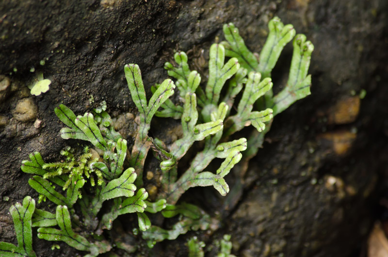 liverwort bryophytes plant group