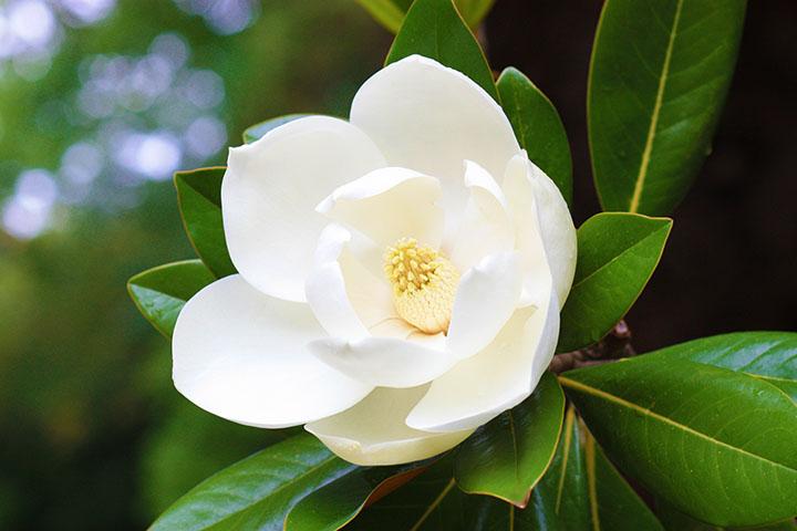 magnolia flower angiosperms plant group