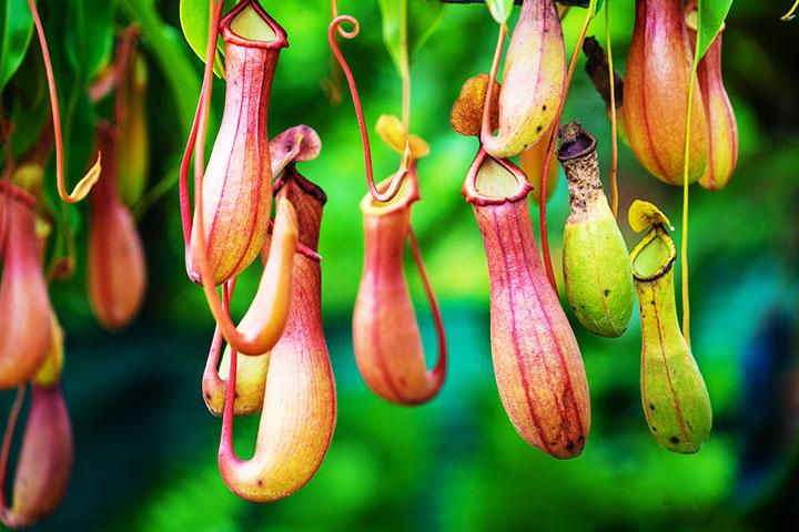 pitcher plant angiosperms plant group