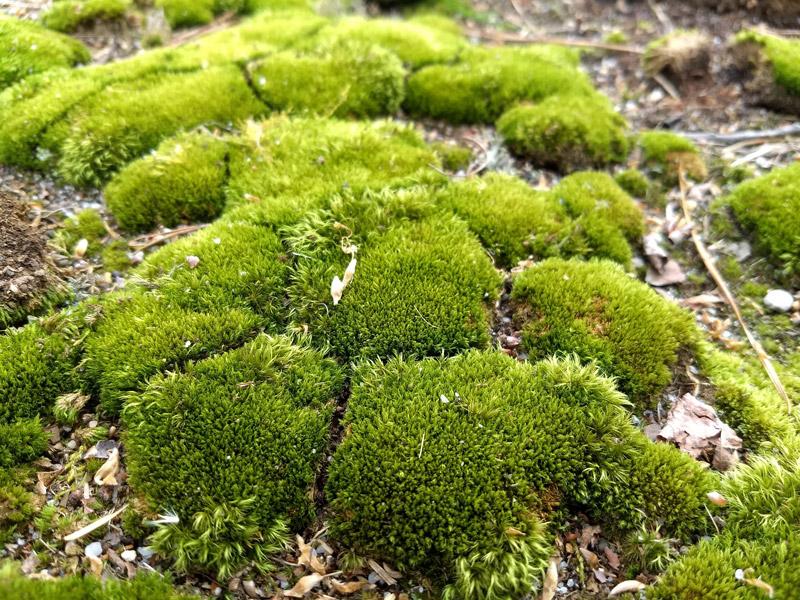pin cushion moss bryophytes plant group