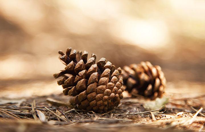 pine cones gymnosperms plant group