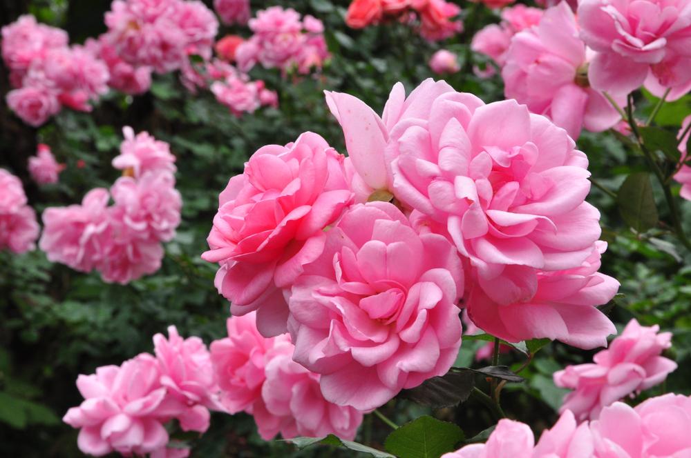 rose species; Damask