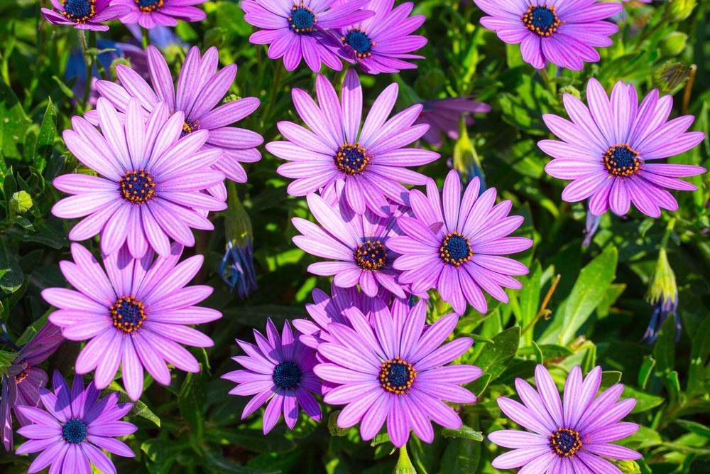 osteospermum daisy