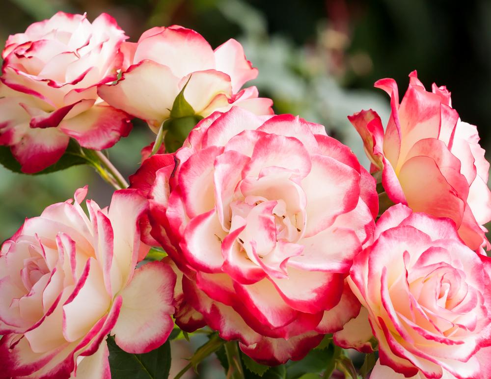 Hybrid Tea rose; modern types of roses