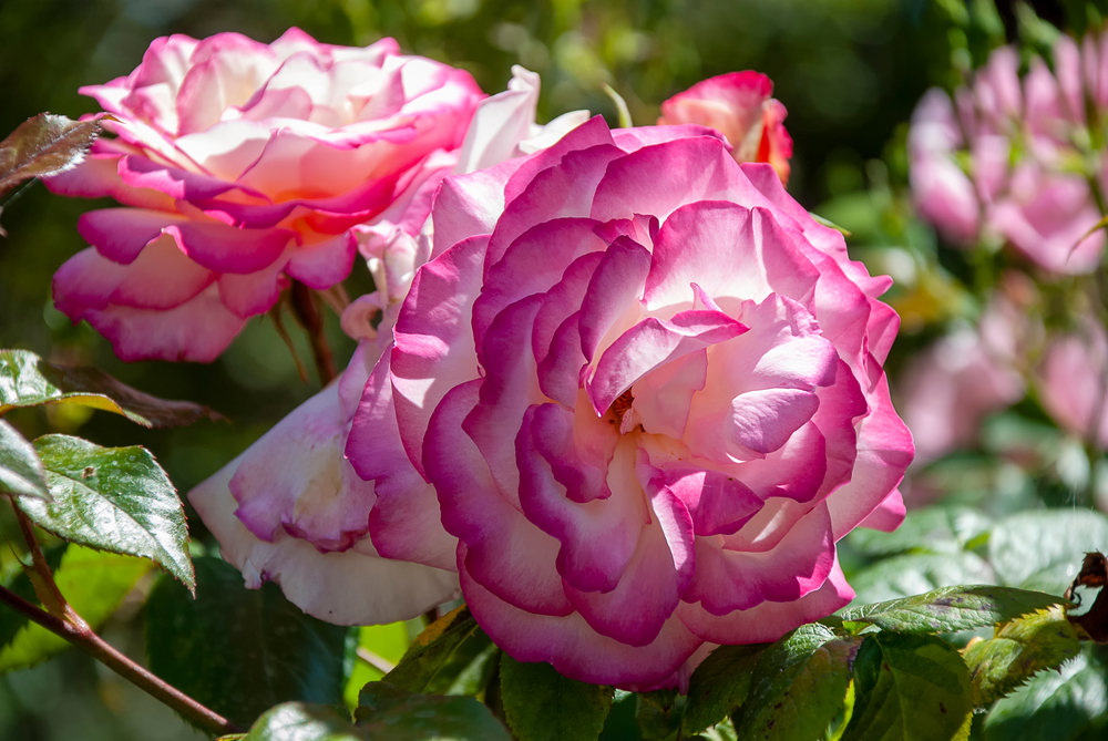 Types of roses; Gallicas
