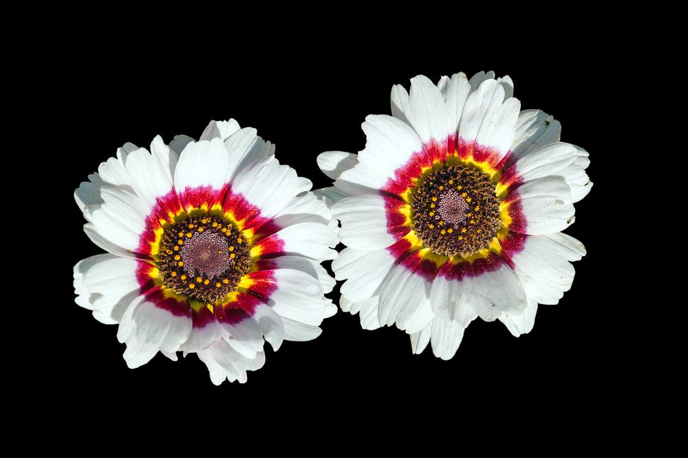 daisy type, Monarch-of-the-veld