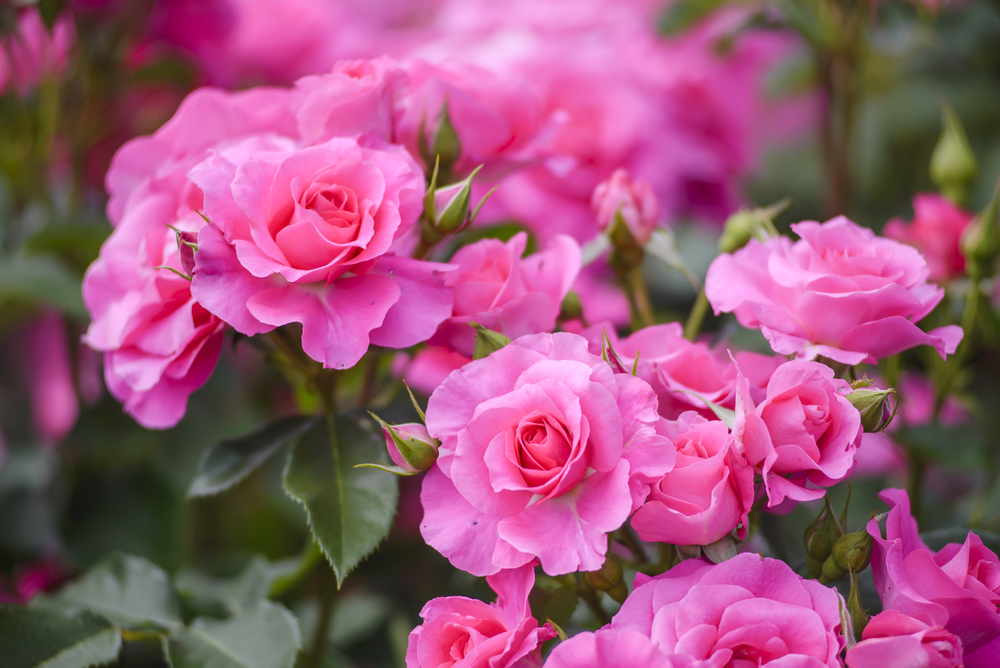 Floribunda, types of roses
